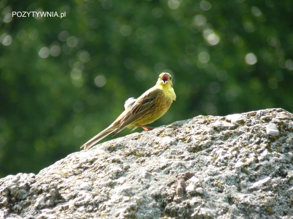 Śpiew ptaka to tez muzyka